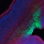 Rat Neocortex